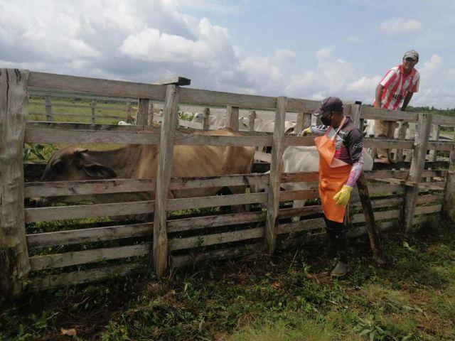 Campaña antiaftosa ha vacunado el 34,5 por ciento del hato bovino nacional